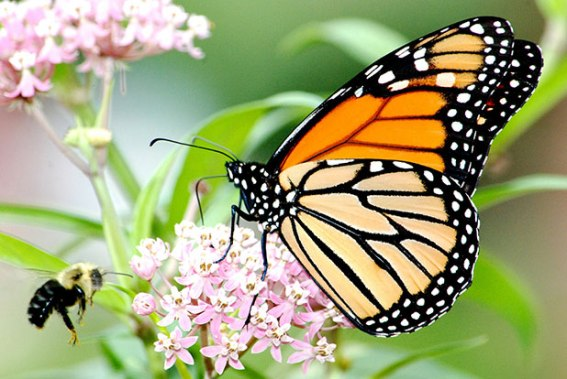 Monarch butterfly on swamp milkweed in Michigan. Photo by Jim Hudgins/USFWS